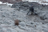 Arctic fox wildlife filming Canon