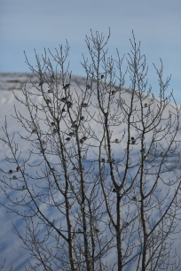 Snow bunting Myvatn canon