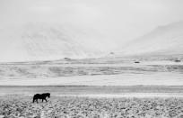 Icelandic horse landscape leica