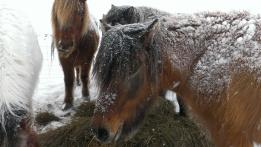 Icelandic horse canon