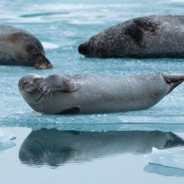 Seals at the glacial lagoon Canon