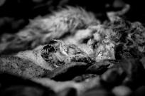 dead arctic fox - leica