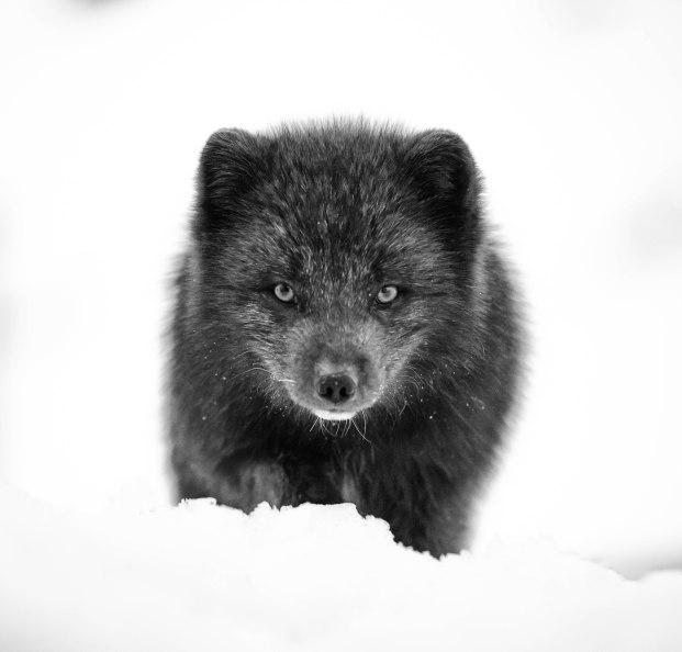 Arctic fox - canon