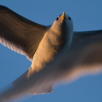 gull - canon