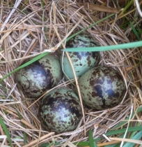 snipe eggs - iphone