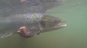 NWIC_20140621_GPH3_salmon.Still003