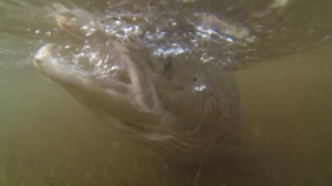 NWIC_20140623_GPH3_salmon2.Still005