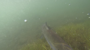 NWIC_20140623_GPH3_salmon2.Still006