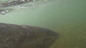 NWIC_20140623_GPH3_salmon2.Still007